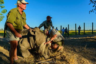 Vet, Dave Cooper and Kevin Pretorius working with a tranqualised white rhino or square-lipped rhinoceros (Ceratotherium simum). Okavango Delta. Botswana