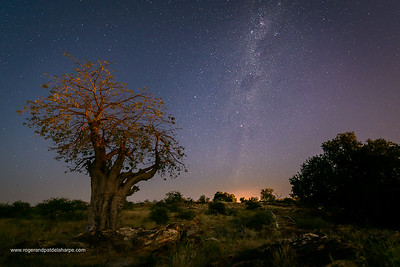 Baobab, Kremetart, Kuka, Seboi, Mowana, Shimuwu or Muvhuyu (Adansonia digitata) at night with the Milky Way. Mashatu Game Reserve. Northern Tuli Game Reserve.  Botswana