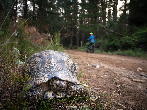 Leopard tortoise (Stigmochelys pardalise) and Biking (mountain biking) at Witfontein. Outiniqua Naure Reserve. Western Cape. South Africa