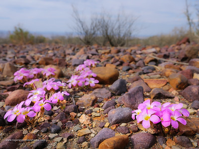 Wild flowers Northern Cape. South Africa.