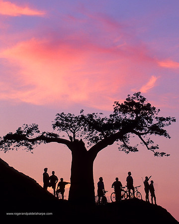 Mountain Bikers. Under Baobab Tree at sunset. Mashatu Game Reserve. Botswana
