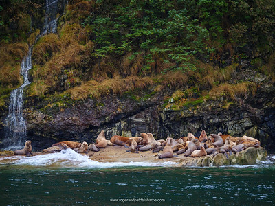 Steller Sea Lion (Eumetopias jubatus) colony. Prince William Sound. Whittier. Alaska. United States of America