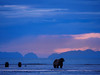 Coastal brown bear, also known as Grizzly Bear (Ursus Arctos) female and cubs. Cook Inlet. South Central Alaska. United States of America (USA).