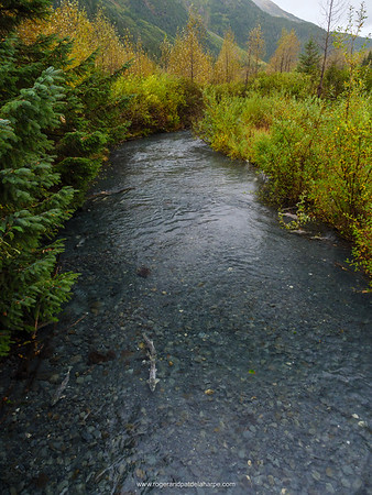 Salmon in Williwaw Creek. Near Whittier. Alaska. United States of America
