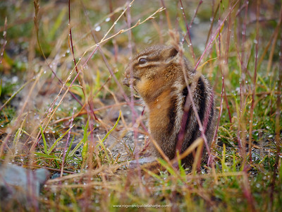 Yellow-pine chipmunk (Tamias amoenus). Whistler. British Columbia. Canada.