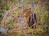 Yellow-pine chipmunk (Tamias amoenus). Whistler. British Columbia. Canada.