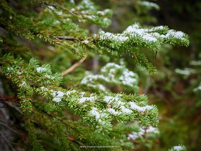 Snow on Douglas fir, Douglas-fir or Oregon pine (Pseudotsuga menziesii) leaves (needles). Revelstoke. British Columbia. Canada.