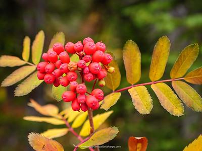 Rowan or mountain-ash (Sorbus aucuparia). Detail of leaves and berries. Revelstoke. British Columbia. Canada.