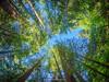 Douglas fir (Psuedotsuga menziesii) trees. Capilano Suspension Bridge Park. Vancouver. British Columbia. Canada.