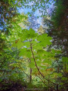 Devil's club or devil's walking stick (Oplopanax horridus, Araliaceae or Echinopanax horridus or Fatsia horrida). Revelstoke. British Columbia. Canada.