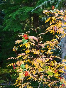 Rowan or mountain-ash (Sorbus aucuparia). Detail of leaves and berries. Golden. British Columbia. Canada.