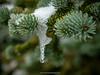 Snow on Douglas fir (Pseudotsuga menziesii). Whistler. British Columbia. Canada.