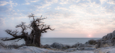Stunted baobab, dead-rat tree (from the appearance of the fruits), monkey-bread tree  upside-down tree or cream of tartar tree (Adansonia digitata). Lekhubu (Kubu) Island. Sowa Pan. Makgadikgadi Pans.  Botswana