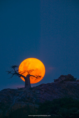 Baobab Tree (Andansonia digitata) on Mmamagwa Hill at moonrise. Northern Tuli Game Reserve. Botswana.
