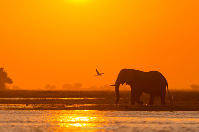 African bush elephant or African elephant (Loxodonta africana) crossing the Chobe River at sunset. Chobe National Park. Botswana