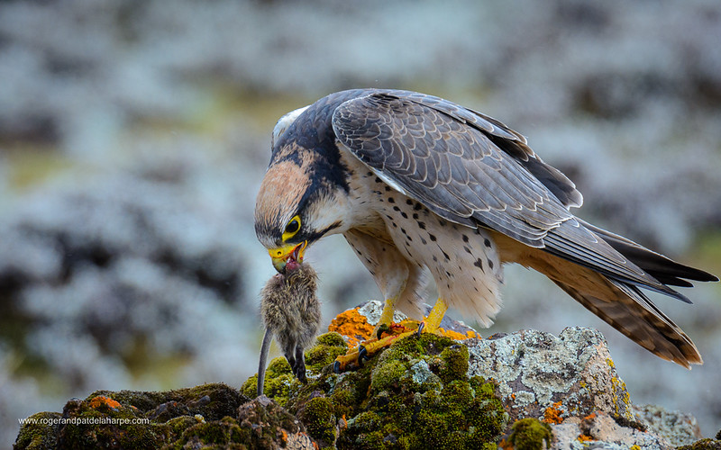 Lanner Falcon (Falco biarmicus). Bale Mountains National Park. Ethiopia.