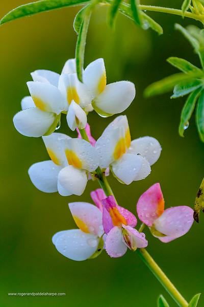 Wild flower. Bale Mountains National Park. Ethiopia.