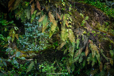 Ferns on tree. Bale Mountains National Park. Ethiopia.