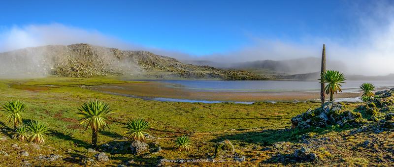 Giant lobelia (Lobelia rhyncopetalum). Bale Mountains National Park. Ethiopia.