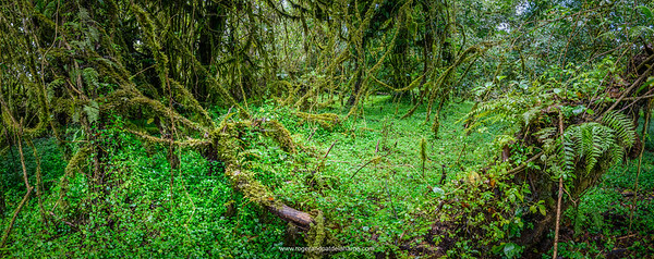 Harenna Escarpment forest interior. Bale Mountains National Park. Ethiopia.