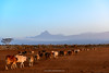Maasai (Masai) cattle with Mount (MT)  Mawenzi (in Tanzania) in the background. Satao Elerai Conservancy. Near Amboseli National Park. Kenya.