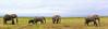 African bush elephant or African Elephant (Loxodonta africana). Amboseli National Park. Kenya.
