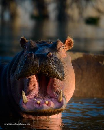 Common hippopotamus or hippo (Hippopotamus amphibius). Lake Naivasha showing aggression.  Naivasha. Great Rift Valley. Kenya