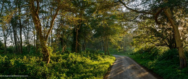 Fever Tree (Acacia xanthophloea) or (Vachellia xanthophloea) forest. Lake Nakuru. Nakuru. Great Rift Valley. Kenya