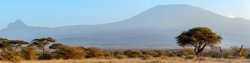 Masai giraffe, Maasai giraffe, or Kilimanjaro giraffe (Giraffa camelopardalis tippelskirchi) with Mount (Mt) Kilimanjaro and Mount (MT)  Mawenzi (in Tanzania) on the left from Satao Elerai Conservancy. Near Amboseli National Park. Kenya.