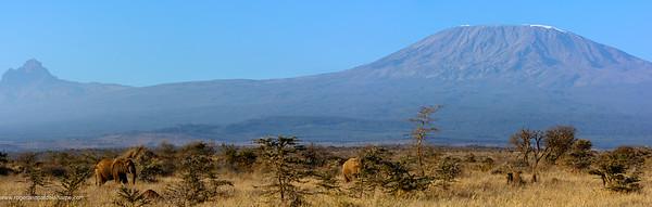 African bush elephant (Loxodonta africana) with Mount (Mt) Kilimanjaro and Mount (MT)  Mawenzi (in Tanzania) on the left in the background. Satao Elerai Conservancy. Near Amboseli National Park. Kenya.