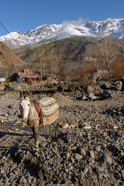 Donkey in riverbed with High Atlas Mountains. Imlil. Morocco