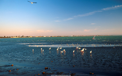 Flamingos and windsurfer at Walvisbay. Namibia