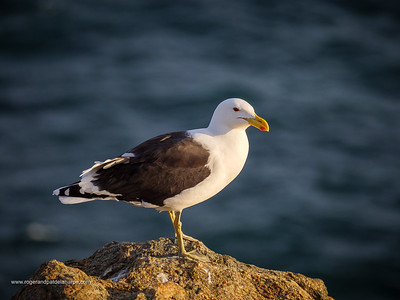 Image Number GH5R315683. Kelp gull (Larus dominicanus) standing on a rocky shore on the garden Route. Western Cape. South Africa