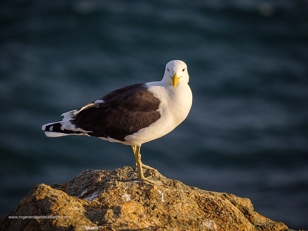 Image Number GH5R315689. Kelp gull (Larus dominicanus) standing on a rocky shore on the garden Route. Western Cape. South Africa