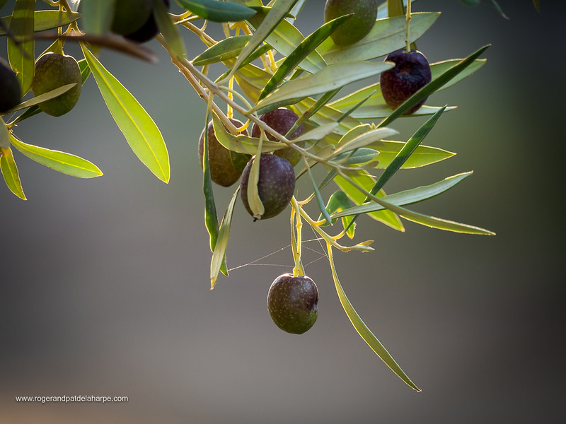 Olives on olive tree branch. Prince (Prins) Albert. Western Cape. South Africa