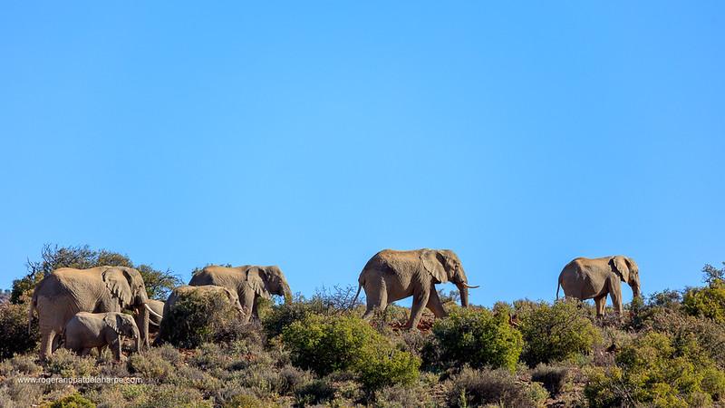 African bush elephant (Loxodonta africana) herd in typical keroo habitat. Karoo, Western Cape, South Africa
