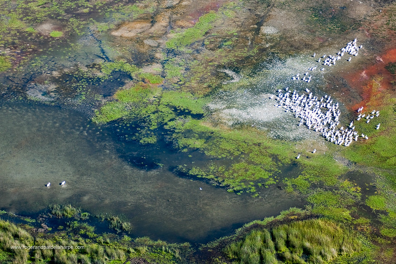Aerial view of Great White Pelican {Pelecanus onocrotalus} breeding colony in the iSimangaliso Wetland Park (previously the Greater St Lucia Wetland Park). KwaZulu Natal. South Africa