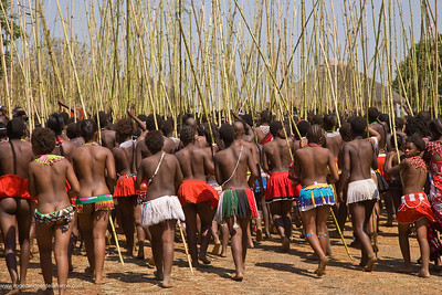 Zulu girls in traditional dress delivering reeds to the King as symbols of their virginity at the Zulu Reed Dance. eNyokeni Royal Palace. Nongoma. KwaZulu Natal. South Africa
