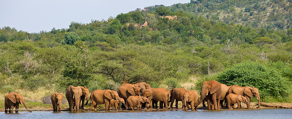 African Elephant (Loxodonta africana). Madikwe Game Reserve. North West Province. South Africa