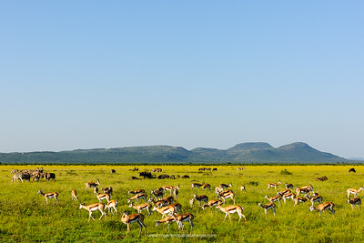 Springbok (Antidorcas marsupialis), Plains Zebra (Equus quagga, formerly Equus burchelli), also known as the common zebra or Burchell's zebra and  blue wildebeest (Connochaetes taurinus), also called the common wildebeest or the white-bearded wildebeest. Madikwe Game Reserve. North West Province. South Africa