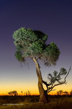 Shepherd's tree, Witgat, Mohlôpi, Motlhôpi, Muvhombwe, Umgqomogqomo or mvithi (Boscia albitrunca). Madikwe Game Reserve. North West Province. South Africa