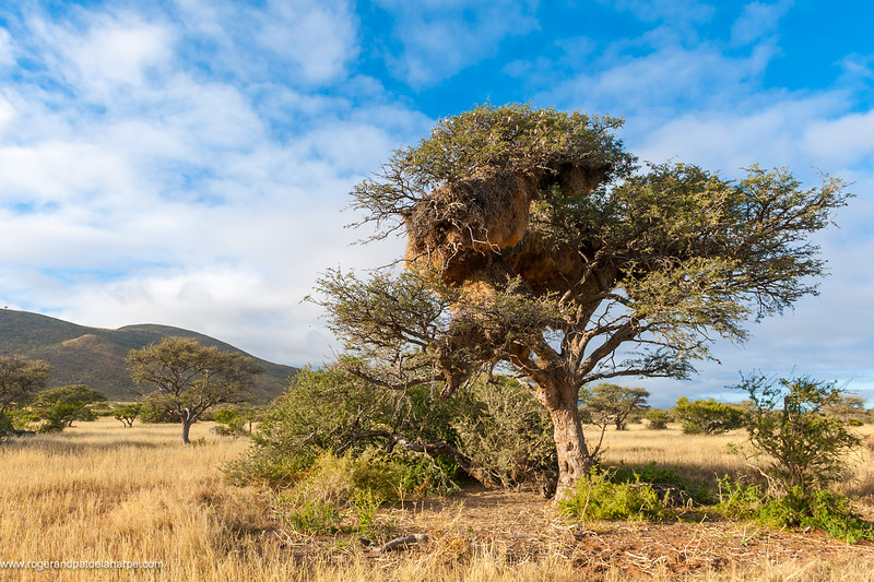 Sociable weaver, also known as the common social weaver, common social-weaver, and social weaver (Philetairus socius) nest in a camel thorn or giraffe thorn tree (Vachellia erioloba). Northern Cape. South Africa.