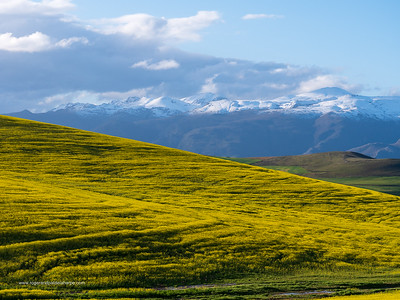 Image Number GX8P403188. Canola or rapeseed field and the snow covered Riviersonderend Mountains. Near Greyton. Overberg. Western Cape. South Africa