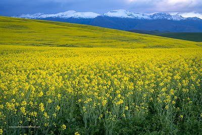 Image Number a7Riv403008. Canola or rapeseed field and the snow covered Riviersonderend Mountains. Near Greyton. Overberg. Western Cape. South Africa