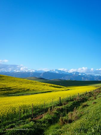 Image Number GH5R402759. Canola or rapeseed field and the snow covered Riviersonderend Mountains. Near Greyton. Overberg. Western Cape. South Africa
