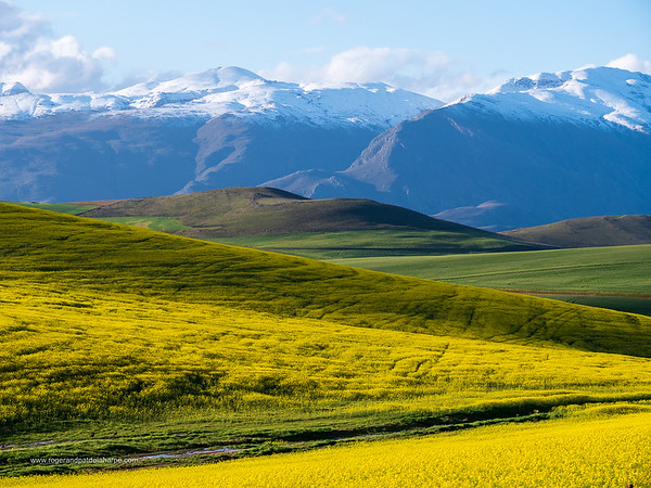 Image Number GX8P403157. Canola or rapeseed field and the snow covered Riviersonderend Mountains. Near Greyton. Overberg. Western Cape. South Africa