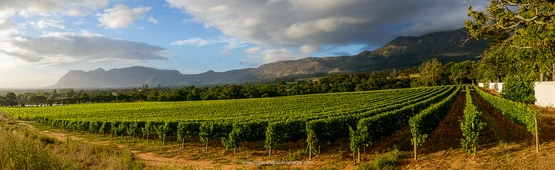 Groot Constantia vinyards. Cape Town. Western Cape. South Africa