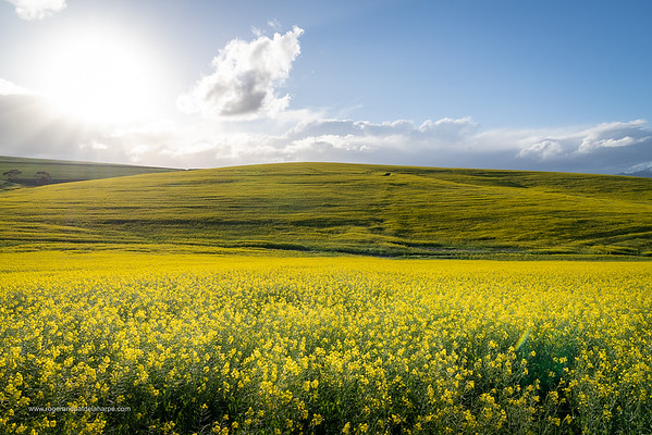 Image Number a7Riv402952. Canola or rapeseed field and the snow covered Riviersonderend Mountains. Near Greyton. Overberg. Western Cape. South Africa