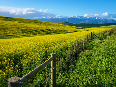 Image Number GH5R402779. Canola or rapeseed field and the snow covered Riviersonderend Mountains. Near Greyton. Overberg. Western Cape. South Africa