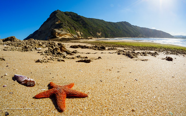 Red starfish (Callopatiria granifera). Gericke's Point near Sedgefield. Garden Route. Western Cape. South Africa